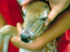 Fawn with fire ant sting scars on head, top left
