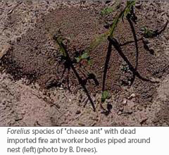 "Forelius species of ""cheese ant"" with dead imported fire ant worker bodies piped around nest (left)(photo by B. Drees)"