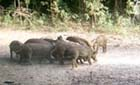 herd of feral hogs