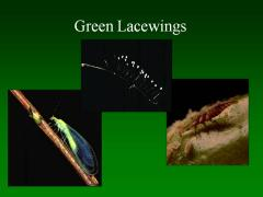Green lacewing life stages