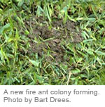 A new fire ant colony forming