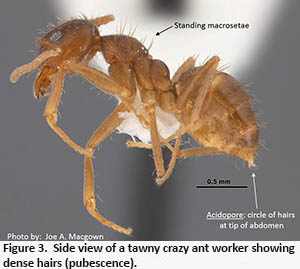 side view of a tawny crazy ant worker showing acidopore and dense hairs
