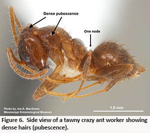 side view of a tawny crazy ant showing dense  pubescence