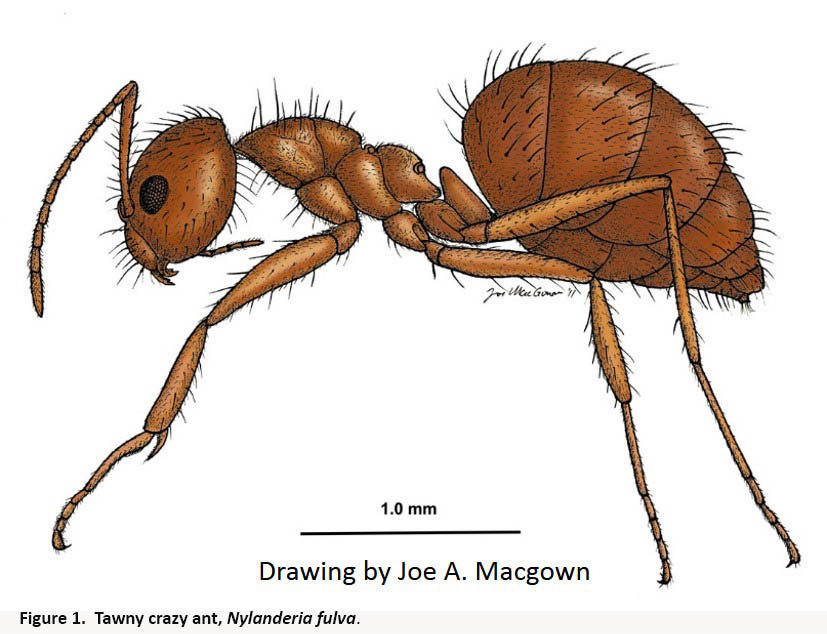 drawing of a tawny crazy ant