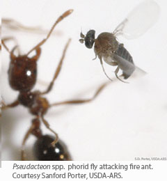 Pseudacteon</em> spp.  phorid fly attacking fire ant.  Courtesy Sanford Porter, USDA-ARS.
