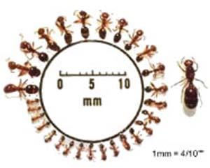 Fire ant workers vary in size in relation to the queen.