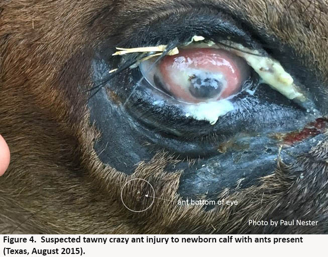 suspected tawny crazy ant injury to the eye of  a newborn calf