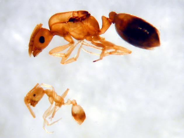 pharaoh ant queen (top) and worker