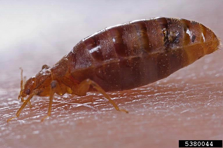 photo of bedbug taken from the side