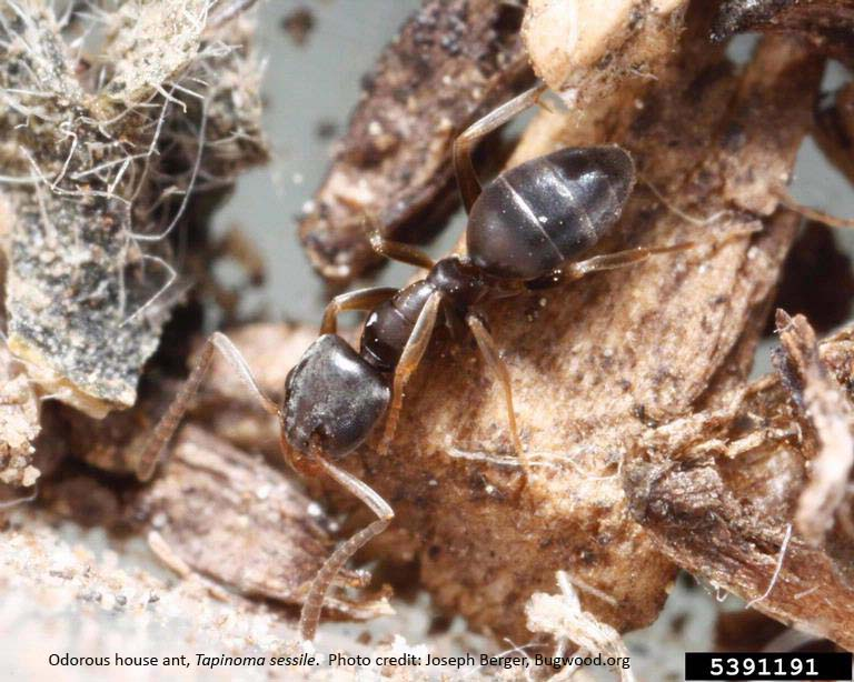 close up of an odorous house ant