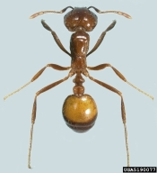 Black imported fire ant, Solenopsis richteri.