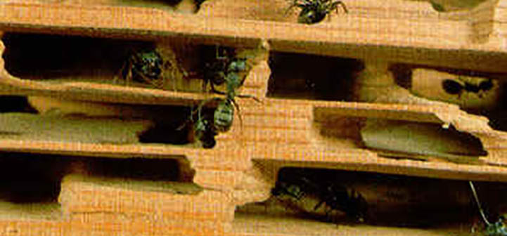 carpenter ant worker and damage to wood