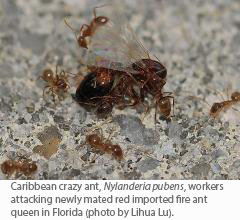 Caribbean crazy ant, Nylanderia pubens, workers attacking newly mated red imported fire ant queen in Florida