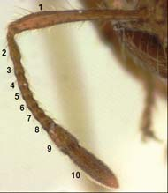 Fire ants have elbowed antennae and 10 segments on each antenna. Photo credit: Josh Basham