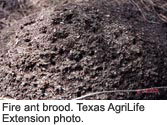 Fire ant brood.
