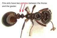 Fire ant showing two petioles between thorax and gaster. Photo credit: Josh Basham