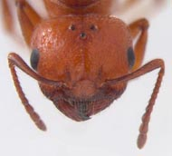 Fire ant head and antennae. Photo by Matt Yoder.