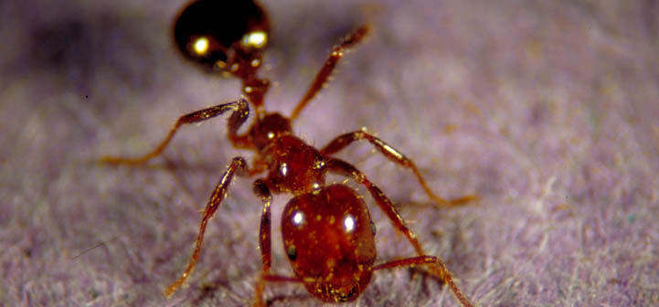 Imported fire ant worker