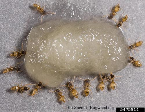 image of a group of ghost ants, Tapinoma melanocephalum
