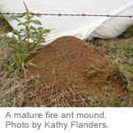 A mature fire ant mound