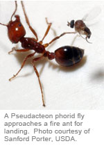 A Pseudacteon phorid fly approaches a fire ant for landing
