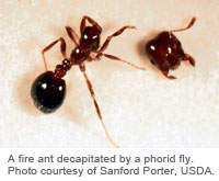 A fire ant decapitated by a phorid fly