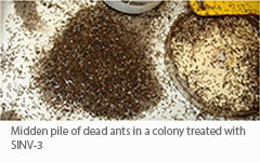 Fire ant midden pile following infection with SINV-3