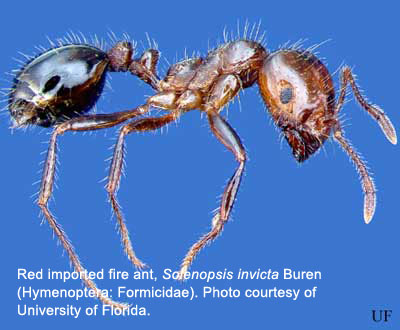 Imported fire ant, Solenopsis invicta Buren.  Photo courtesy of University of Florida.