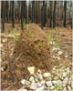A tall fire ant mound in clay soil.