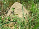 A tall fire ant Mound.